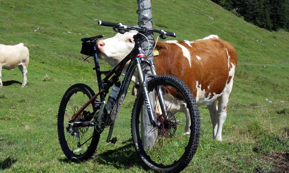 MTB mit Kuh