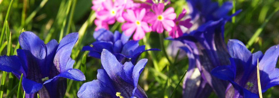 Enzian und Wiesenblumentour