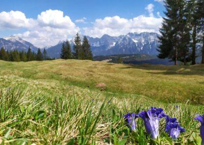 Enzianwiese 2020 in der Alpenwelt